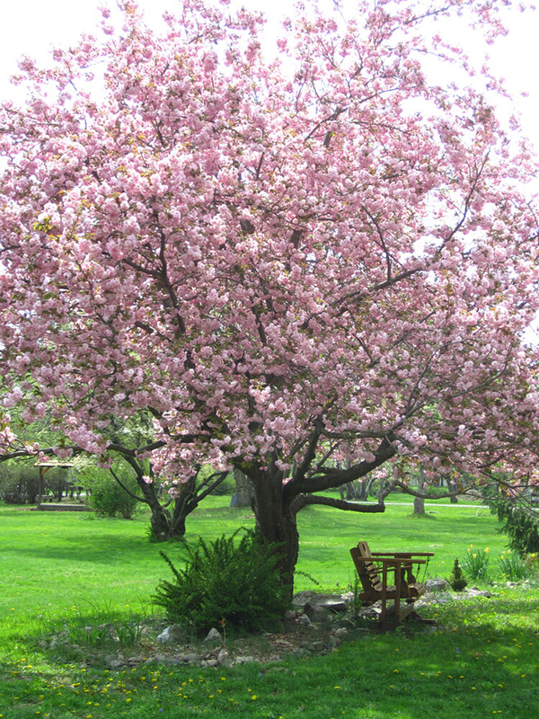 photo of cherry tree in bloom